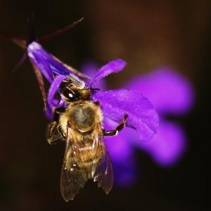 A jako bonus ještě sosající včelka... :-) Canon EOS 40D + Carl Zeiss Jena Sonnar 135/3.5 + mezikroužky Pentacon. Clona 3.5; čas 1/500 s; ISO 400. Upraveno v ZPS 13: expozice, křivky, doostření. Příklad, jak se dá z úplně zkažené fotky udělat slušná. Ať žije RAW! :)