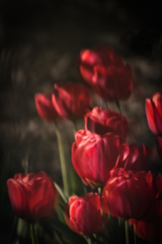 Tulip_reflection_FB